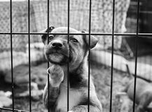 Pup in a cage. Homeless animals series. Sad little pup resting up against the bars of his cage. Black and white image stock image