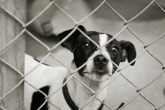 Pup in a cage. Homeless animals series. Terrier dog looking out from behind the wire mesh of his cage. Black and white image royalty free stock photography