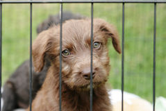 Pup in a cage. Homeless animals series. Brown pup looking out from behind the wire mesh of his cage stock photos