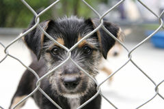Pup in a cage. Cute scruffy terrier pup looking out through the wire mesh of his cage stock photo