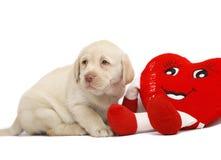 Pup con un cuore rosso. Fotografia Stock