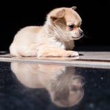 Pup. A cute pup, young dog Stock Photos
