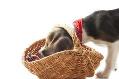 Pup del cane da lepre Fotografie Stock