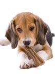 Pup del cane da lepre Fotografia Stock