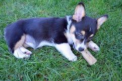 Pup del Corgi Fotografia Stock