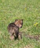 Pup del coyote fotografia stock