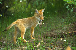 Pup del coyote con il bastone Fotografia Stock
