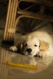 Pup del documentalista dorato Fotografia Stock Libera da Diritti