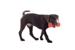 Pup del laboratorio del cioccolato con il giocattolo Immagini Stock Libere da Diritti