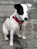 Pup del Terrier del Jack Russell Immagini Stock