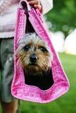 Pup della diva in un elemento portante. immagine stock libera da diritti