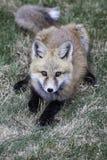 Pup della volpe rossa Immagini Stock