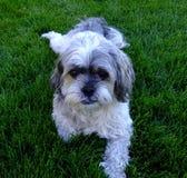 Pup di Charley su erba Fotografia Stock Libera da Diritti