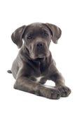 Pup di corso della canna fotografia stock libera da diritti