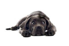 Pup di corso della canna fotografie stock
