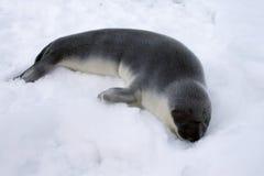 Pup di foca dal cappuccio Fotografia Stock Libera da Diritti
