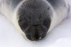 Pup di foca dal cappuccio fotografie stock libere da diritti