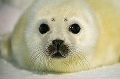 Pup di foca della Groenlandia fotografia stock libera da diritti
