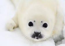 Pup di foca della Groenlandia appena nato immagini stock libere da diritti