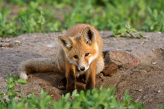 Pup di Fox rosso in Saskatchewan Immagine Stock