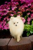 Pup di massimo Fotografia Stock
