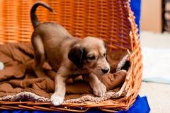 Pup di Saluki immagini stock