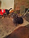 Pup felice Immagini Stock