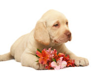 Pup with a flower. Pup Labrador with a lily on a white background. Portrait of puppy with a flower Royalty Free Stock Image