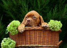 Pup with flowers. Royalty Free Stock Image