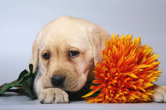 Pup with flowers. Royalty Free Stock Photography