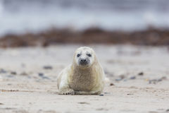 Pup of grey seal Halichoerus grypus crawling on sand beach Royalty Free Stock Image