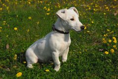 Pup jack russel terrier. Young puppy purebred jack russel terrier in the grass Stock Images