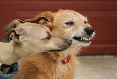 Pup meets old dog. Animal behavior series. Young Italian Greyhound pup sniffing the nose of an older terrier dog, older dog is snarling at her stock photos