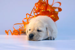 Pup with an orange bow. Royalty Free Stock Photo