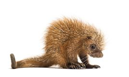 Pup prehensile-tailed porcupine, Coendou prehensilis, isolated. 15 days old royalty free stock photo