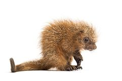 Pup prehensile-tailed porcupine, Coendou prehensilis, isolated. 15 days old stock photography