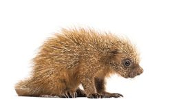 Pup prehensile-tailed porcupine, Coendou prehensilis. Isolated, 15 days old royalty free stock photo