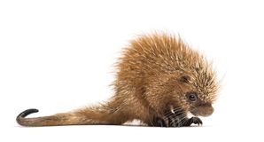 Pup prehensile-tailed porcupine, Coendou prehensilis, isolated. 15 days old stock photo