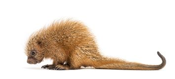 Pup prehensile-tailed porcupine, Coendou prehensilis, isolated. 15 days old royalty free stock photos