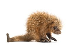 Pup prehensile-tailed porcupine, Coendou prehensilis, isolated. 15 days old royalty free stock photography