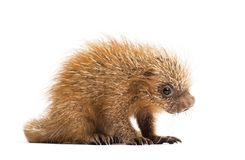 Pup prehensile-tailed porcupine, Coendou prehensilis, isolated. 15 days old royalty free stock image