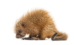 Pup prehensile-tailed porcupine, Coendou prehensilis, isolated. 15 days old stock images