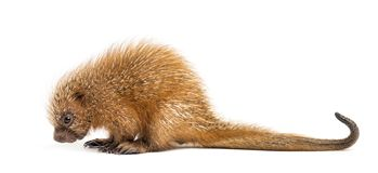 Pup prehensile-tailed porcupine, Coendou prehensilis, isolated. 15 days old royalty free stock images