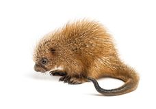 Pup prehensile-tailed porcupine, Coendou prehensilis, isolated. 15 days old stock photos