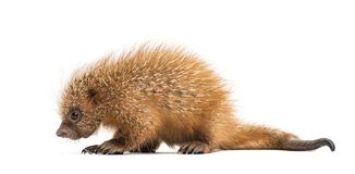 Pup prehensile-tailed porcupine, Coendou prehensilis, isolated. 15 days old stock image