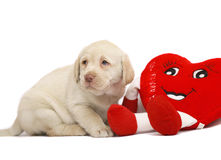 Pup with a red heart. Puppy of Labrador with a red plush heart on a white background Stock Photo