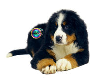 Pup with soap bubbles. Royalty Free Stock Images