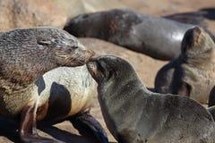 Pup sudafricano di saluto della madre della guarnizione di pelliccia Fotografie Stock