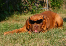 Pup in sun glasses. Puppy of breed a mastiff from Bordeaux Royalty Free Stock Photos