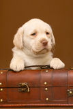 Pup with a trunk. Puppy of Labrador with a wooden trunk Royalty Free Stock Images